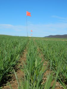 Cereal rye cover crop on April 8 in central Pennsylvania, 5 weeks prior to soybean planting.