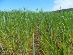 Cereal rye cover crop on April 22 in central Pennsylvania, 3 weeks prior to soybean planting.