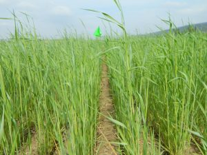 April 28 (1.5 weeks prior to soybean planting): Cereal rye cover crop in central Pennsylvania.