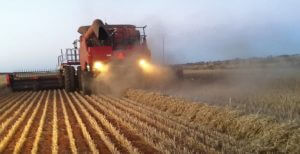 Chaff being formed into windrows during harvest in preparation for narrow windrow burning in a western Australian wheat field. Photo credit: Rob and Andrew Messina, ABC News Australia.