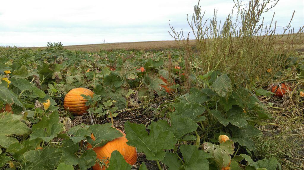 Waterhemp in a pumpkin field in Warren County, IA