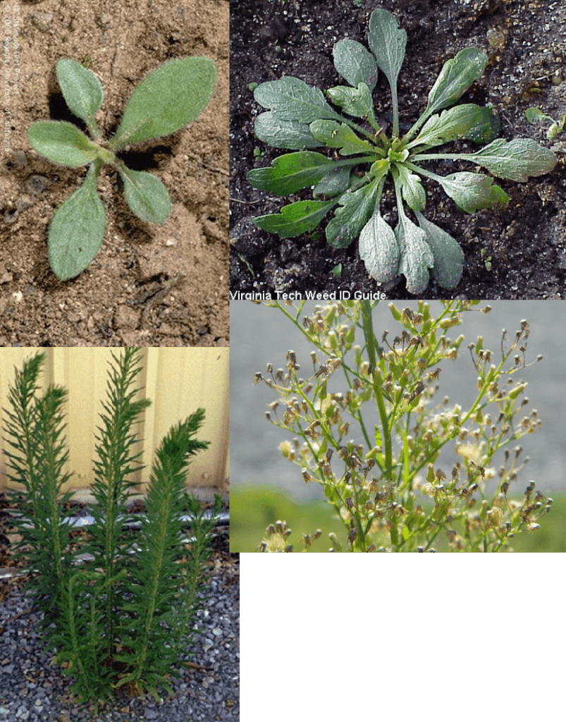 Horseweed lifecycle photos