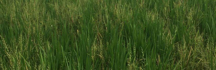 arnyardgrass. Photo: Mississippi State University