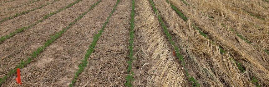 High Biomass Cover Crop