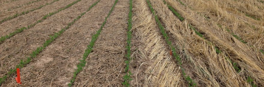 High Biomass Cover Crop