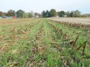 Cereal rye in late October, planted following corn harvest in Beltsville, MD.