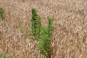 Glyphosate-resistant marestail (horseweed) in wheat in Pennsylvania (W. Curran, 2016).