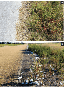 Weeds in seed along road