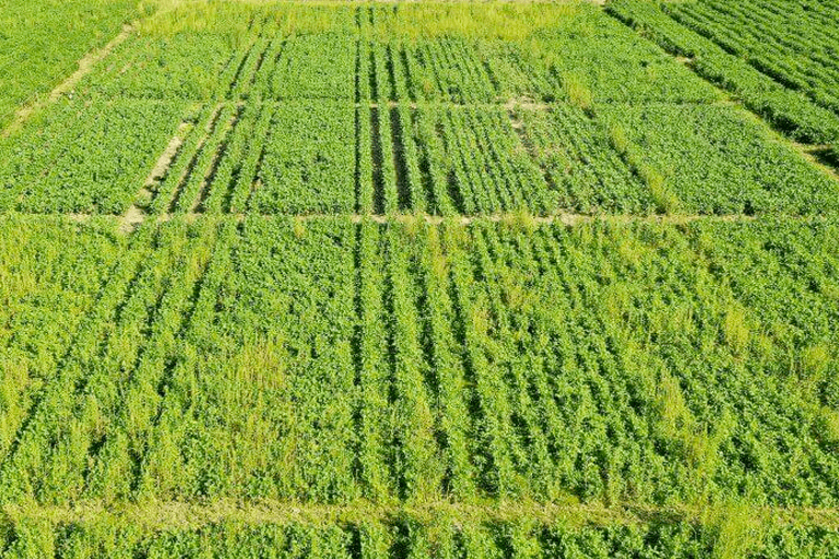Row Spacing As A Weed Management Tool
